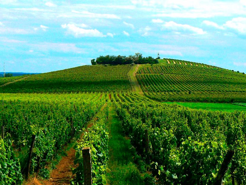 Bild av en vingård i Villányi, Ungern, där Kadarka trivs.